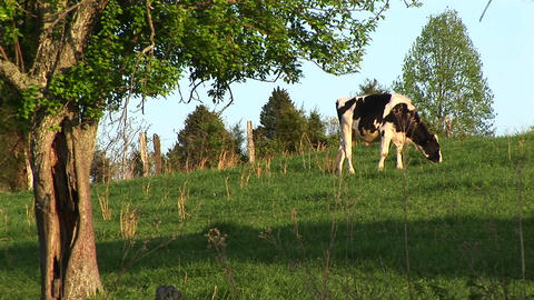 A Holstein cow grazes in a green meadow Live Action