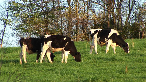 Brown-and-white spotted dairy cows graze on a meadow's... Stock Video Footage