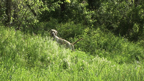 White dog turns his back on camera in thick underbrush... Stock Video Footage