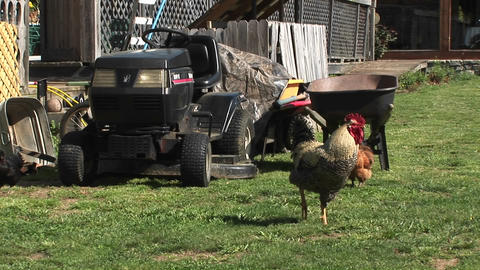 A rooster keeps watch on a lawn in front of a farmer's... Stock Video Footage