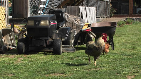 A rooster keeps watch on a lawn in front of a farmer's equipment pile Footage
