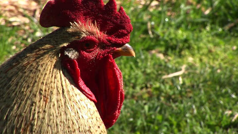 An agitated rooster crows and struts in this close-up Stock Video Footage