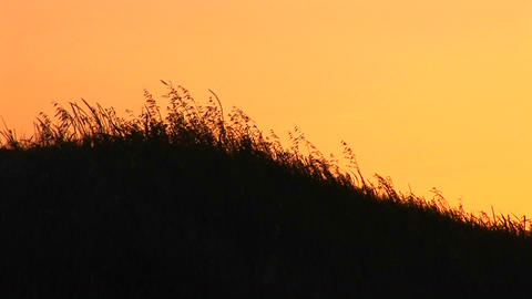 Medium-shot of silhouetted wheat blowing at golden-hour Stock Video Footage