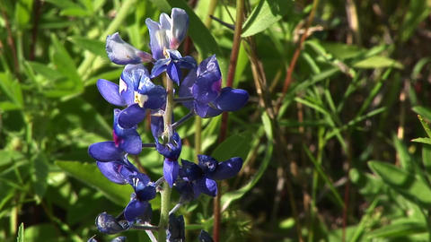 Purple lupine flowers grow in a field Stock Video Footage