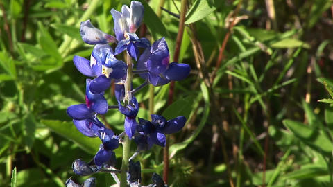 Purple lupine flowers grow in a field Live Action