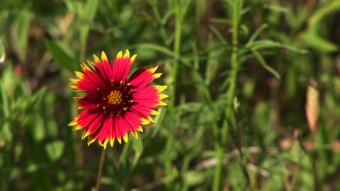 Close-up of a red and yellow Texas wildflowers Stock Video Footage