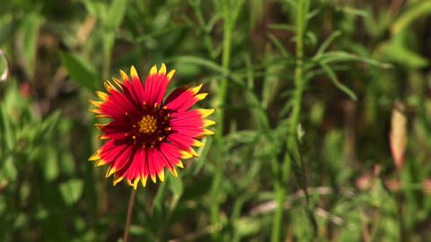 Close-up of a red and yellow Texas wildflowers Footage