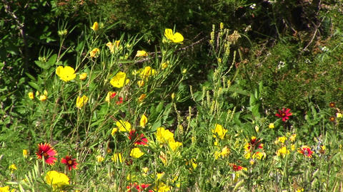 Medium-shot of yellow and red Texas wildflowers swaying... Stock Video Footage