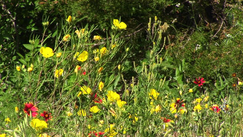 Medium-shot of yellow and red Texas wildflowers swaying in the breeze Footage