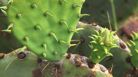 Extreme-close-up of the spines of a Texas cactus Stock Video Footage