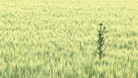 Medium-shot of a weed growing tall in a Texas crop field Footage
