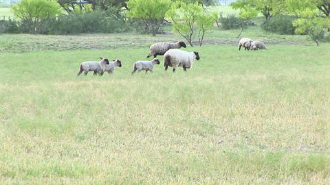 Following shot of an ewe and three lambs walking across a field Footage