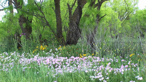 Medium-shot of pink and yellow Texas wildflowers Stock Video Footage