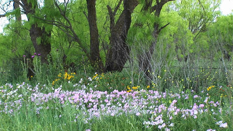 Medium-shot of pink and yellow Texas wildflowers Footage