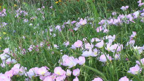 Medium-shot of pink and white Texas wildflowers Stock Video Footage