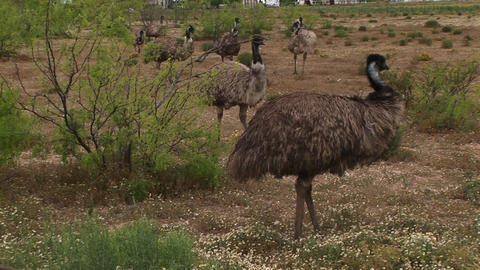 Medium-shot of a flock of emus walking in a field Stock Video Footage