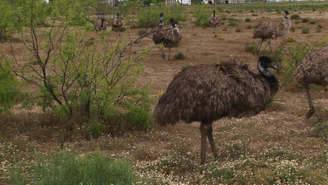 Medium-shot of a flock of emus walking in a field Footage