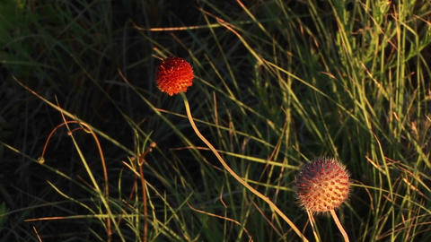 Close-up of red Texas wildflowers moving in the breeze Stock Video Footage
