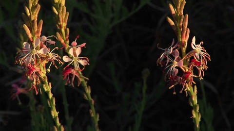 Close-up of Texas wildflowers moving in the breeze Footage