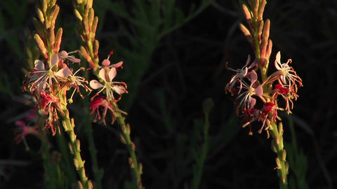 Close-up of Texas wildflowers moving in the breeze Stock Video Footage