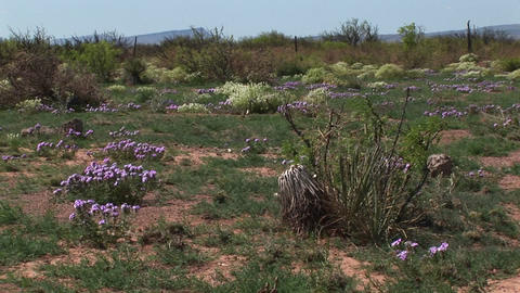 Medium-shot of Texas wildflowers blooming on the desert... Stock Video Footage
