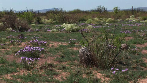 Medium-shot of Texas wildflowers blooming on the desert floor Footage