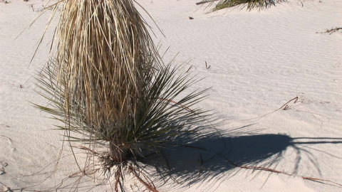 Pan-up of a tall, dry plant at White Sands National... Stock Video Footage
