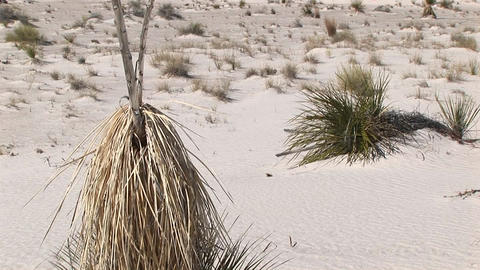 Pan-up of a tall, dry plant at White Sands National Monument in New Mexico Footage