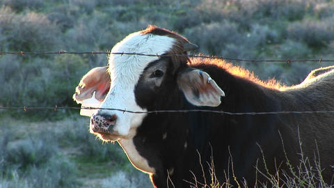 Medium shot of a cow looking through a barbed wire fence Footage