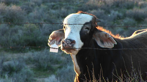 Medium shot of a cow looking through a barbed wire fence Stock Video Footage