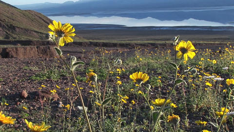 Medium shot of wildflowers blooming in Death Valley... Stock Video Footage