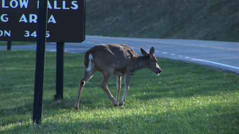 Following shot of a female white-tail deer crossing a... Stock Video Footage