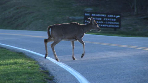 Following shot of a female white-tail deer crossing a highway Footage