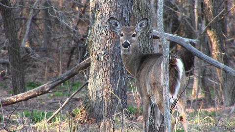 Medium-shot of a female white-tail deer standing next to a tree Footage