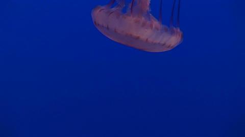 Underwater shot of a jelly-fish floating in the water Stock Video Footage