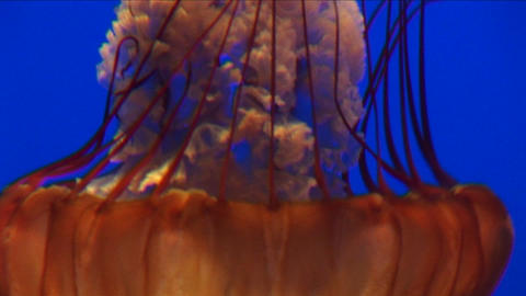 Underwater close-up of a jelly-fish swimming Stock Video Footage