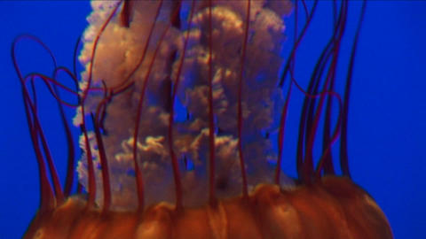 Underwater close-up of a jelly-fish swimming Footage