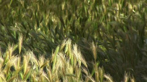 Close-up Of Wheat Growing In Canyon De Chelly stock footage