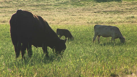 Medium shot of cows and calves grazing on a Utah ranch Footage