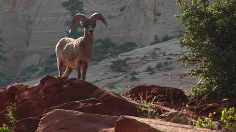 Medium shot of a desert Bighorn sheep atop a hill in Zion... Stock Video Footage