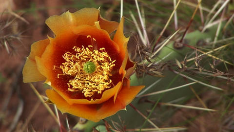 Close-up of a blooming desert cactus in Zion National Park Footage