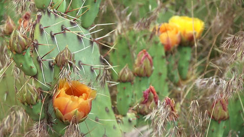Close-up of blooming desert cactus in Zion National Park Stock Video Footage