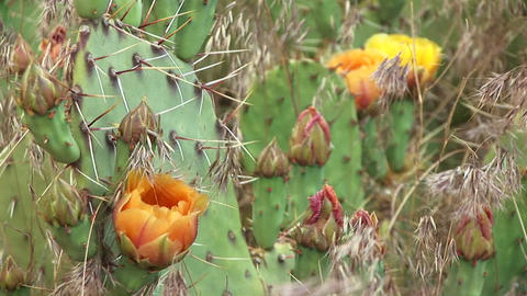 Close-up of blooming desert cactus in Zion National Park Footage