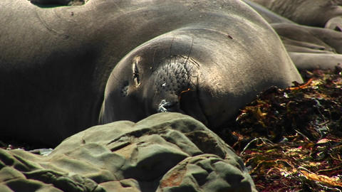 Close-up of a harbor seal basking in the California sun Stock Video Footage