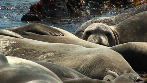 Close-up of harbor seals sunning on a California beach Stock Video Footage