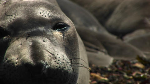 Close-up of the face of a dozing harbor seal Stock Video Footage