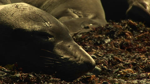 A sea lion face at rest Stock Video Footage