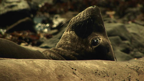 Close-up of a harbor seal lying on a California beach Stock Video Footage