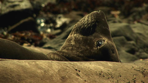 Close-up of a harbor seal lying on a California beach Footage