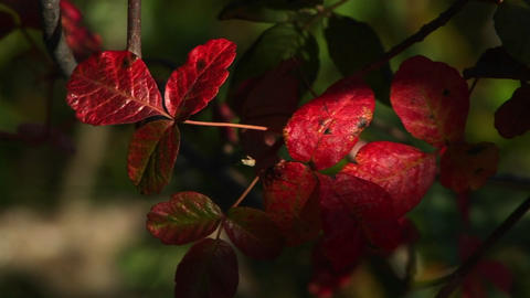 Close-up of red poison oak leaves swaying in the breeze Stock Video Footage